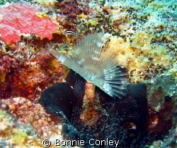 Feather Duster seen in Grand Cayman August 2008.  Photo t... by Bonnie Conley 